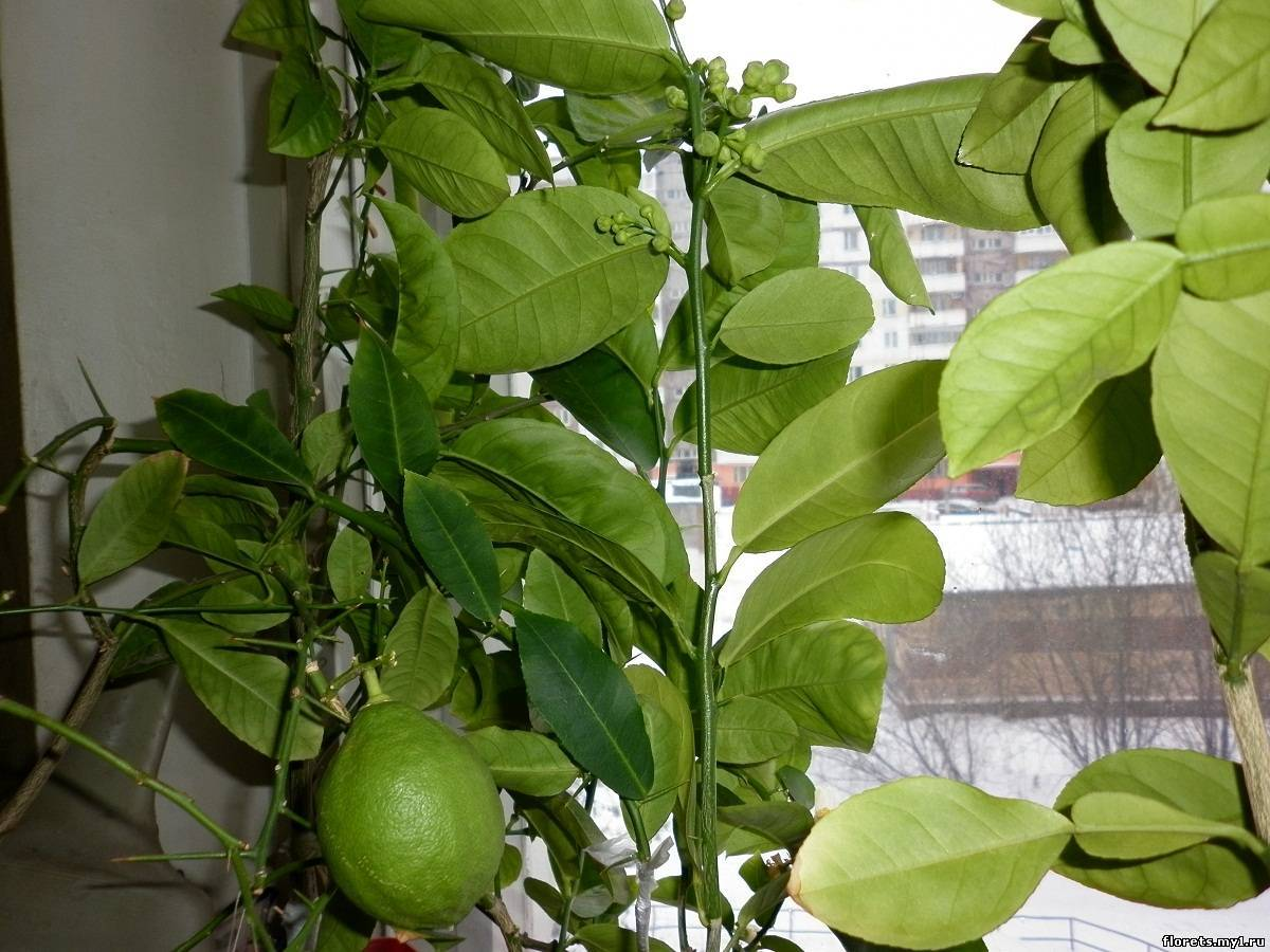 Как вырастить яблоню из семечка в домашних условиях видео 13